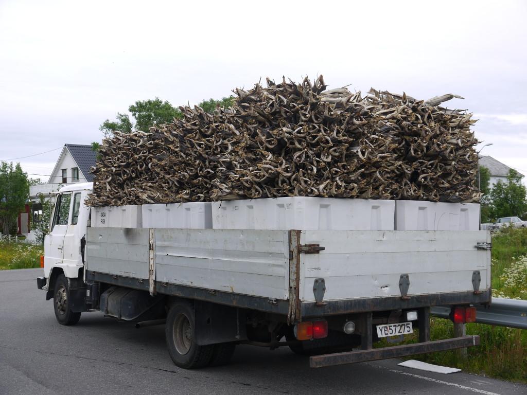 Stokvis op transport naar de sorteerloods, Værøy, Lofoten