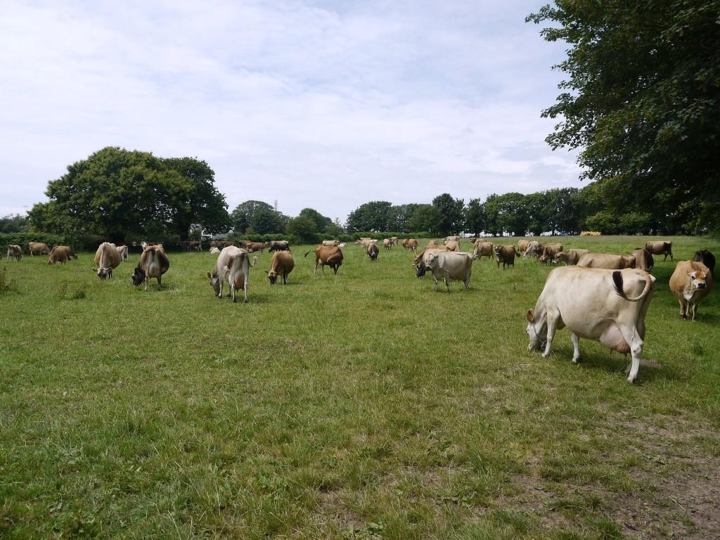 Koeien met flinke uiers op Jersey